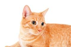 一只红色猫的纵向 库存图片