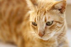 一只红色猫的纵向 免版税库存图片