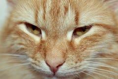 一只红色猫的贯穿的神色 免版税库存图片
