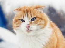 一只红色猫的画象与雪花的在面孔 免版税库存图片