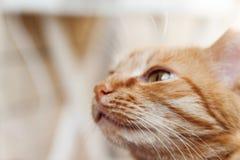 一只红色猫,头的一张大画象,斜眼看在阳光下,喂 免版税库存照片