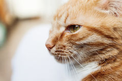 一只红色猫,头的一张大画象,斜眼看在阳光下,喂 免版税库存图片