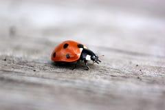 一只红色瓢虫 库存图片