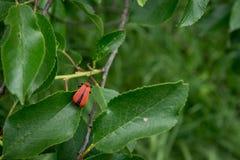 一只红色甲虫 库存照片
