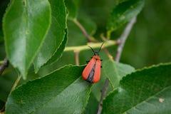 一只红色甲虫 免版税库存照片