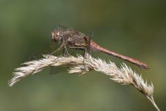 一只红色蜻蜓 免版税库存图片