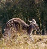 一只红色袋鼠在草弯成拱状  库存图片