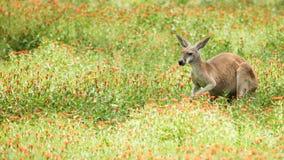 一只红色袋鼠的特写镜头在野花的 免版税图库摄影