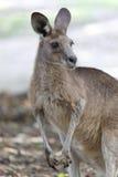 一只红色袋鼠的画象在澳大利亚 库存图片
