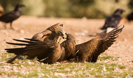 一只红色风筝和黑鸢的战斗 免版税库存图片