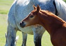 一只红色驹的画象与母马的 免版税图库摄影
