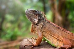 一只红色鬣鳞蜥的画象 免版税库存照片