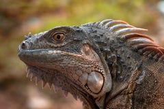 一只红色鬣鳞蜥的画象 库存照片