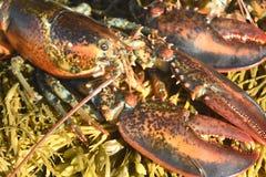 一只红色龙虾的惊人的照片与大爪的 免版税库存照片