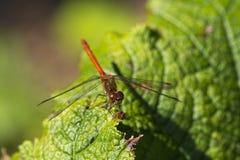 一只红色蜻蜓坐一片叶子在公园 库存照片