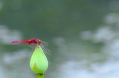 一只红色蜻蜓 免版税图库摄影
