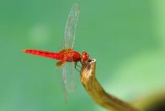 一只红色蜻蜓 库存照片