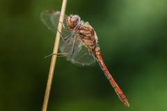 一只红色蜻蜓 免版税库存照片
