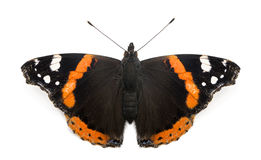 一只红蛱蝶蝴蝶的顶视图, Vanessa atalanta 免版税图库摄影
