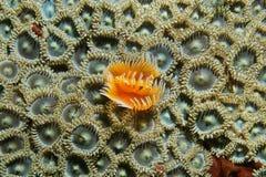 一只红被察觉的马掌蠕虫和席子zoanthids 库存照片