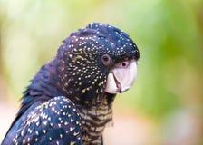 一只红被盯梢的黑美冠鹦鹉的画象,澳大利亚当地鸟 免版税库存图片