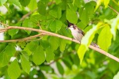 一只红whiskered歌手鸟坐树枝 库存图片