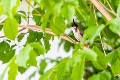 一只红whiskered歌手鸟坐树枝 库存照片