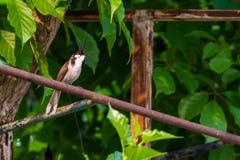一只红whiskered歌手鸟坐铁棍 库存照片