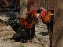 一只纯血统公鸡的画象 免版税库存图片
