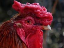 一只纯血统公鸡的画象 免版税库存照片