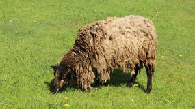 一只绵羊吃草充满幸福 库存图片