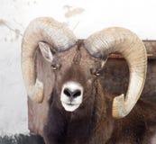 一只绵羊的画象与垫铁的 库存图片