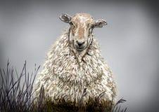 一只绵羊 库存图片