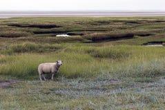 一只绵羊 免版税库存图片
