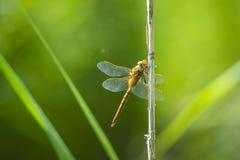 一只绿眼的叫卖小贩蜻蜓的特写镜头, Aeshna isoceles 库存照片
