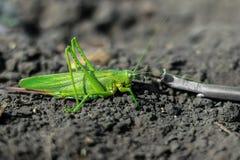 一只绿色蚂蚱坐地面 特写镜头 库存照片