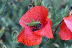 一只绿色蚂蚱坐红色鸦片 免版税图库摄影