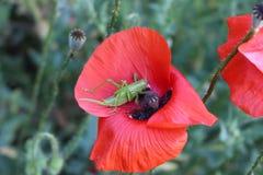 一只绿色蚂蚱坐红色鸦片 免版税库存照片