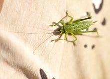 一只绿色蚂蚱坐衣裳 免版税库存照片