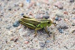 一只绿色蚂蚱的特写镜头在沙子的 免版税库存图片