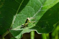 一只绿色蚂蚱 宏指令 植物名叶子 免版税库存照片