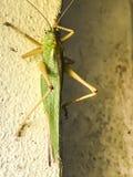 一只绿色蚂蚱 免版税库存图片