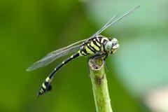一只绿色蜻蜓 免版税图库摄影