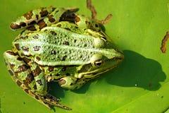 一只绿色野生青蛙的画象 免版税库存图片