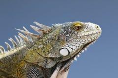 一只绿色鬣鳞蜥的特写镜头 免版税图库摄影