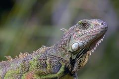 一只绿色鬣鳞蜥的画象 免版税图库摄影