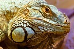 一只绿色鬣鳞蜥的顶头纵向 图库摄影
