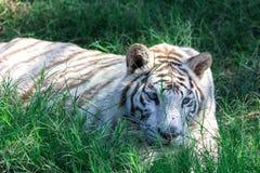一只罕见的白色老虎直接地看我 免版税库存图片