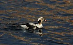 一只罕见的长尾的鸭子, Clangula hyemalis男性在繁殖的全身羽毛,在海在苏格兰 免版税库存图片