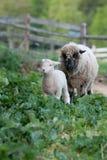 一只羊羔和一只绵羊在新英格兰种田 免版税图库摄影